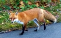 Chester Valley Trail red fox 1