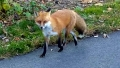 Chester Valley Trail red fox 2